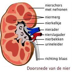 De werking van de nieren - GezondeNieren.nl