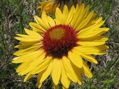 Gaillardia aristata Botany, Calgary, Minnesota, Oregon, Colorado, Plants, Aspen Colorado, Plant, Skiing Colorado