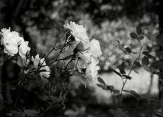 Sobre flores. Fotos: Alyogyne, ou Hibiscus Lilás; Trepadeira, Akebia Quinata, arbusto do Japão; Abelia; Azalea e Rododendro, arbustos do mesmo género; Rosas