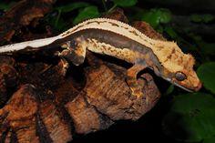 Available Crested & Gargoyle Geckos 25% off - FaunaClassifieds