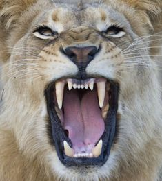 Lions possess a set of rear teeth known as carnassals that cut down the meat into small pieces, no matter how thick the prey's hide is. Still, they don't chew their food, they swallow it!