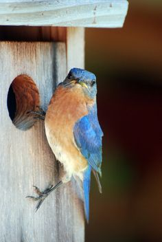 We have the parents & their 6 offspring in our yard ~ oh how I love the Blue Bird!