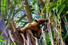 Tamandua at Lake Sandoval in Tambopata Reserve