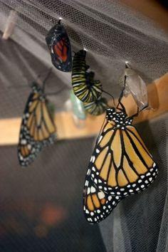 Le plaisir de créer un jardin à papillons à la maison avec la Trousse d'élevage Monarque sans frontière.    http://espacepourlavie.ca/trousse-delevage-monarque-sans-frontiere