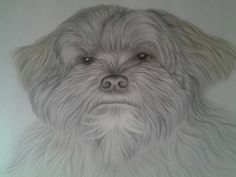 Bella, lhasa apso by Tracey Fyffe