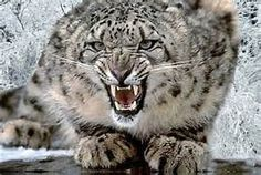 snow leopard mummies Nepal - Bing images