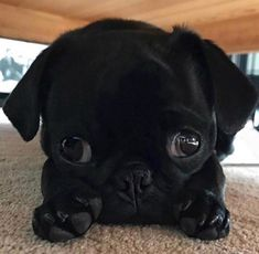 Central 💖🐶 - Pug Life ❤️💋🐾 -Pug Central 💖🐶 - Pug Life ❤️💋🐾 - He seems to be in a different world of is own 😂. 👶 ➕ 🐶 = 🤗🥰 Click The Link for watching more funny and cute pug puppies video. Cute puppy is ready to receive some food! Cute Baby Pugs, Cute Dogs And Puppies, Bulldog Puppies, Terrier Puppies, Black Pug Puppies, Boston Terrier, Doggies, Black Puppy, Lab Puppies