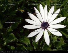 http://www.photaki.com/picture-purple-and-white-daisy_53244.htm