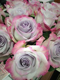 'Purple Haze' rose.