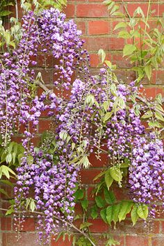 Purple Wisteria. Covers the west-facing fence as a backdrop for the other garden plants