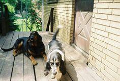 Amber and Rosie 2005, Bassett hound,  bloodhound