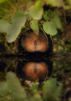 watervole by andy, via Flickr