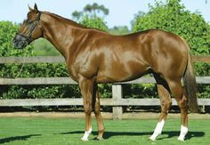 Choisir (AUS) 1999 Ch.h. (Danehill Dancer (IRE)-Great Selection (AUS) by Lunchtime (GB) Australian Champion 2 Year Old/Champion 3 Year Old 1st Golden Jubilee (GB-G1), VRC Lightning S (AUS-G1) Standing at Coolmore. Sire of 57 SWS