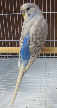 Sky blue Df violet spangle