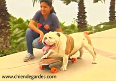 Regardez Otto le Bulldog Skateboard battu le Record du monde