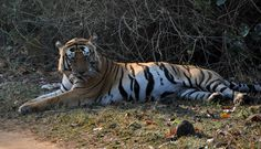 Munna - The Dominate Male in Kanha National Park