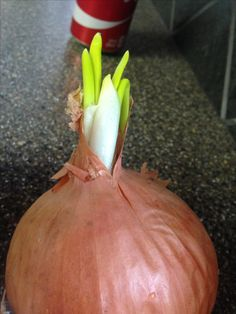 Onion Sprouts, Vegetables, Food, Essen, Vegetable Recipes, Meals, Yemek, Veggies, Eten