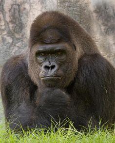 Orangutans, Chimpanzee, Nature Animals, Wild Animals, Beautiful Creatures, Animals Beautiful, Big Gorilla, Gorillas In The Mist, Dian Fossey