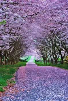 It looks so peaceful, I wish i could find somewhere this beautiful so i could take a long walk enjoy the scenery .......................... | See more about cherry blossoms, purple and paths.