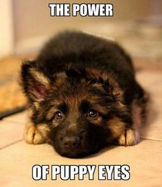 There's nothing as powerful as German Shepherd puppy eyes - Animals - Puppies Cute Puppies, Cute Dogs, Dogs And Puppies, Doggies, Cute Baby Animals, Funny Animals, Mundo Animal, Puppy Eyes, German Shepherd Puppies