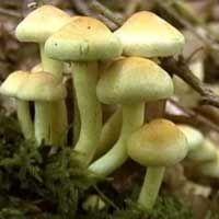 "Bolets catalans. BOLET DE PI.  ""Hypholoma fasciculare"". Tòxic. #bolets #setas #mushrooms"