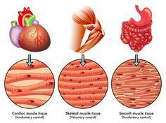 Types of Muscle Tissue                                                       …