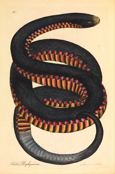 James Sowerby, Crimson-sided snake (Coluber porphyriacus), 1794