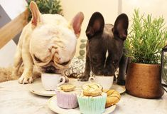 A French Bulldog cafe where you can dine with your four-legged friends is coming to London in September Manchester Terrier, Four Legged, Cat Breeds, First World, Pugs, Elephant, Puppies, Animals, London People