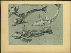 Trigle, (vulg) grondin, rouget - ID: 102340 - NYPL Digital Gallery