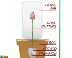 Propagate Roses Using Organic Materials as Root Hormone Which Everyone Has In Their Cupboards: Cinnamon and Potatoes - VisiHow Organic Gardening, Gardening Tips, Urban Gardening, Rose Cuttings, Rose Propagation, Transplanting Roses, Diy Arbour, Best Roses, Knockout Roses