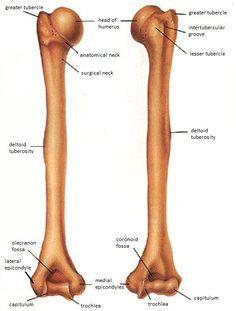 Human Skeleton Parts, Human Skeleton Anatomy, Human Body Anatomy, Human Anatomy And Physiology, Hand Bone Anatomy, Anatomy Bones, Upper Limb Anatomy, Human Body Diagram, Musculoskeletal System