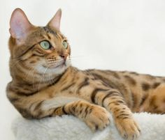 Bengal Cat Breed Profile - Breed Information with Description & Photos -Understanding cat breeds better at catsincare.com!
