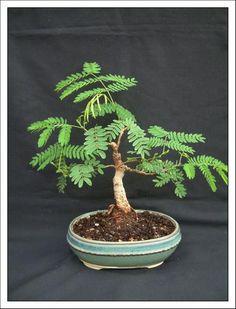 bonsai acacia dealbata - Buscar con Google