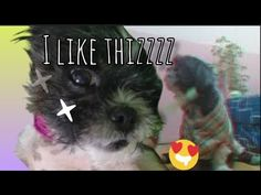 Balancing Act plus Massage 💆 - YouTube Shih Tzu, Massage, Acting, Pets, Youtube, Animals, Animales, Animaux, Animal