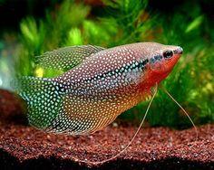 Pearl Gourami,(Trichogaster leeri)Species Profile, Pearl Gourami,(Trichogaster leeri)Care Instructions, Pearl Gourami,(Trichogaster leeri)Feeding and more.::Aquarium Domain.com