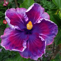 10 Dinnerplate Hibiscus Top Secret Perennial Flower Seed Easy to Grow Huge 10-12 Inch Flowers