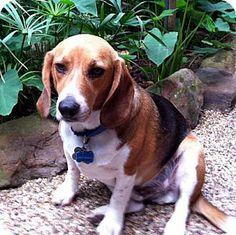 - Duke - 4 year old male Beagle For more information on Duke, visit our website: http://houstonbeaglerescue.org/index.php