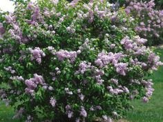 The old-fashioned beauty 'Asessippi' lilac was developed about 1935 in Manitoba, Canada, which means it survives tough winters. Plants are hardy in zones 2 to 7. Flower buds open a week before common lilacs, unfurling to reveal single lavender blooms with a rich fragrance. These shrubs flower profusely, growing 10 to 12 feet tall and wide. This lilac works well in the landscape as a specimen or background shrub.