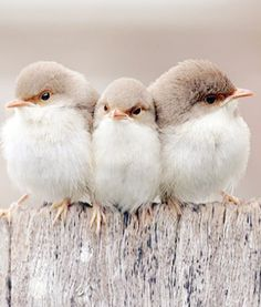 Three little sweet birds.