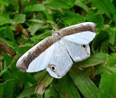 Geometridae Ennominae, Opisthoxia sp., Opisthoxia amabilis.
