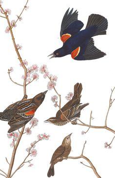 Red winged Starling, or Marsh Blackbird | John James Audubon's Birds of America
