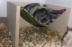 guinea pig sleeping in hammock