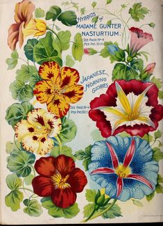 Young & Sons Co 'Spring Catalogue with an illustration of 'Hybrids of Madame Gunter Nasturtium' and 'Japanese Morning Glories. Art Vintage, Vintage Cards, Vintage Postcards, Vintage Prints, Seed Illustration, Floral Illustrations, Botanical Illustration, Flower Catalogs, Seed Catalogs