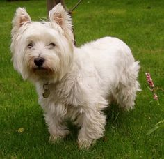 "West Highland Terrier | West Highland White Terrier - Proud Parent of ""Pearl."""