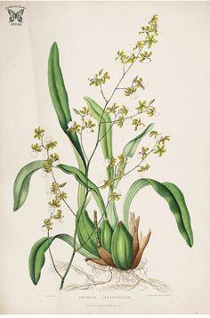 White lipped Oncidium. Oncidium leucochilum. The Orchidaceae of Mexico and Guatemala (1837-1843) [Sarah Ann Drake] | by Swallowtail Garden Seeds