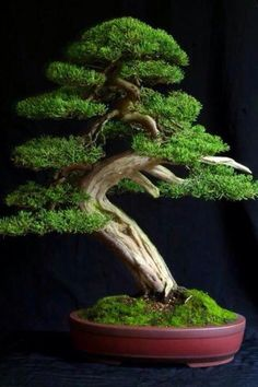 Houseplants for Better Sleep Bonsai By Vilma Bonsai Plants, Bonsai Garden, Bonsai Trees, Trees And Shrubs, Trees To Plant, Ikebana, Bonsai Artificial, Mini Plantas, Espalier