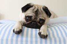AN EXACT REPLICA...OF MY PUG ...(MY DOG)...named Bubbles....Soooo crazy...looks just like her!!!