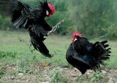 The Black Roosters #chianticlassico