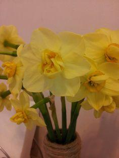 Daffodil Sir Whinston Churchill