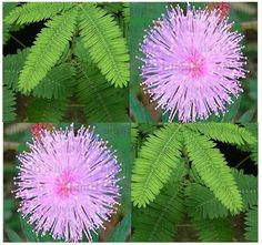 BULK MIMOSA PUDICA SENSITIVE PLANT Flower Seeds ~ Great For Kids Science Project